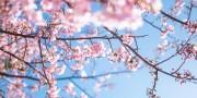 PAK85_ninasakura20140308_TP_V[1]